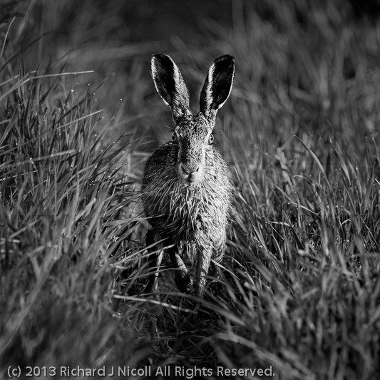 Hare amongst dew covered grass - Brown Hare (Lepus europaeus)