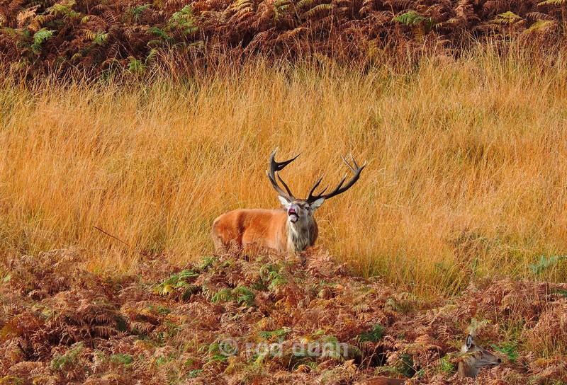 Red Deer Stag - Peak District