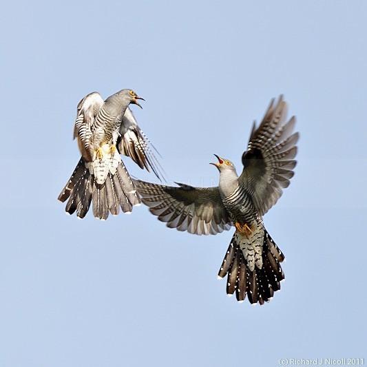 Cuckoos (Cuculus canorus) fighting - Cuckoo (Cuculus canorus)