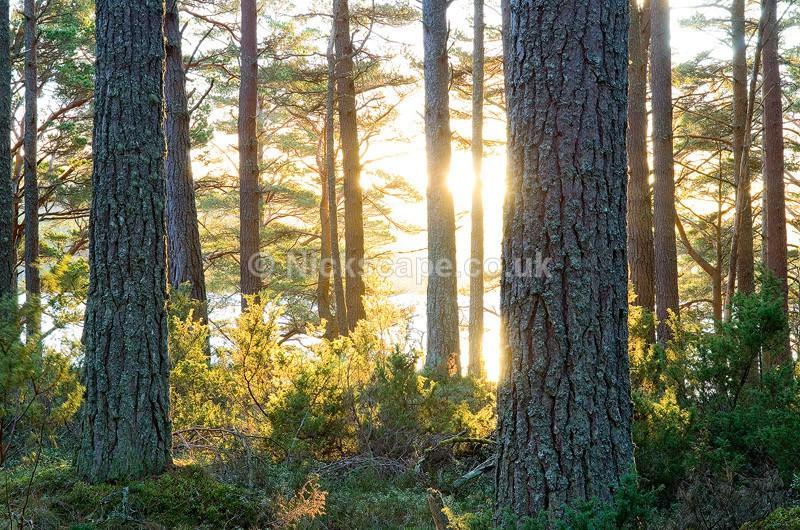 Golden Morning Light in the Pine Forest at Loch Garten in the Cairngorms National Park