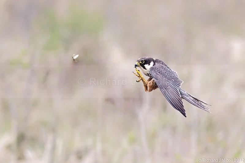 Hobby (Falco subbuteo) hunting mayfly - Hobby (Falco subbuteo)
