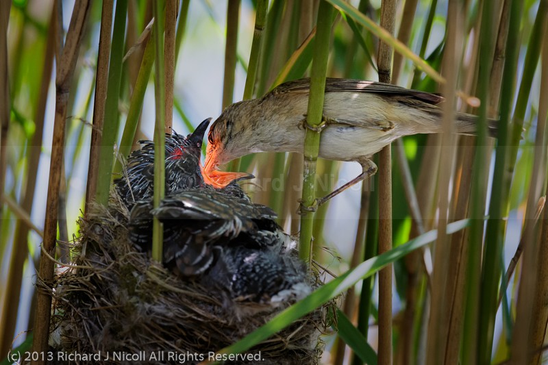 Reed Warbler feeding Common Cuckoo - Cuckoo (Cuculus canorus)