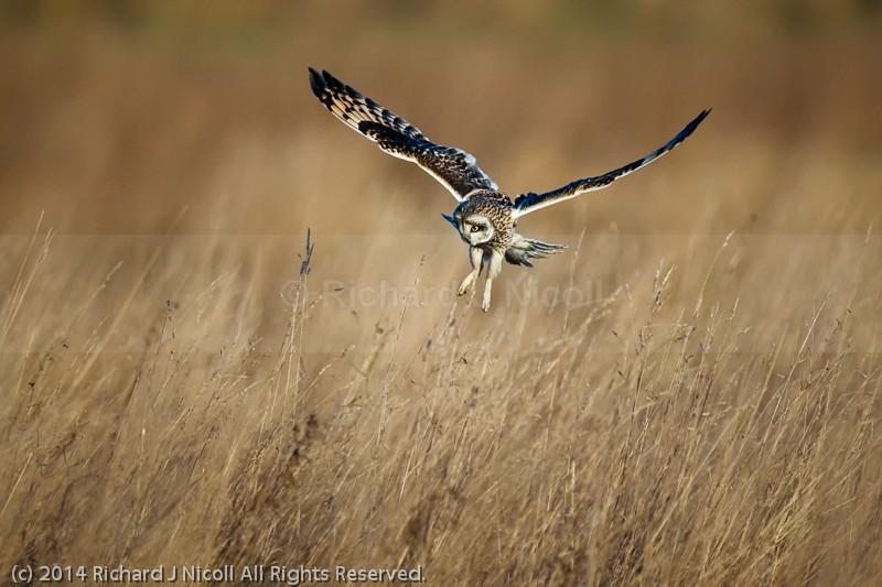 Short-eared Owl (Asio flammeus) - Short-eared Owl (Asio flammeus)