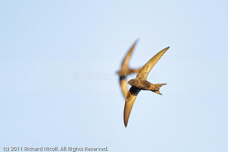 Swifts (Apus apus) - Swift (Apus apus)