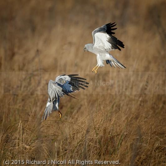 Hen Harrier (Circus cyaneus) squabble - Hen Harrier (Circus cyaneus)
