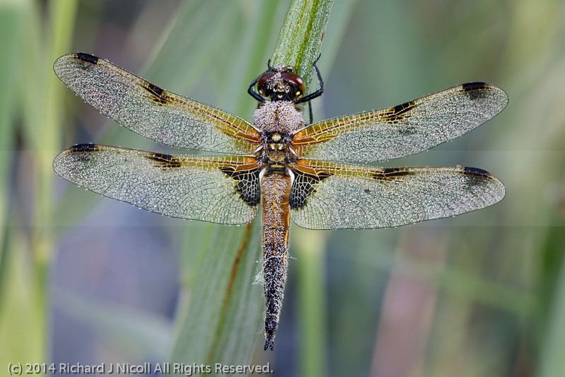 Four-spotted Chaser (Libellula quadrimaculata) covered in dew - Four-spotted Chaser (Libellula quadrimaculata)