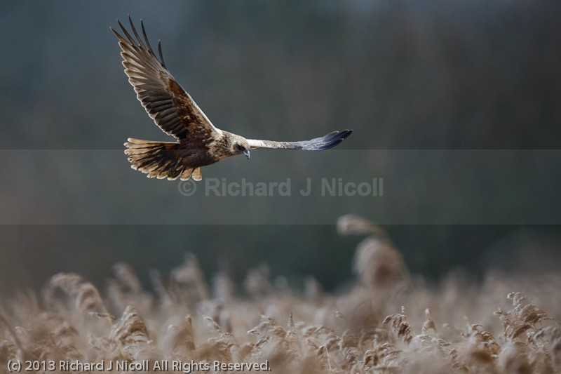 Marsh Harrier (Circus aeruginosus) female landing - Marsh Harrier (Circus aeruginosus)
