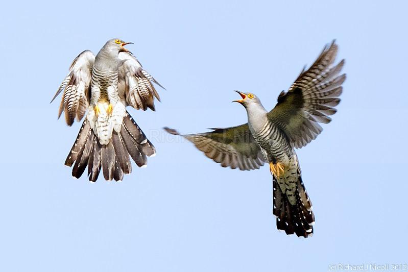 Common Cuckoos (Cuculus canorus) Fighting 2 - ARPS Panel