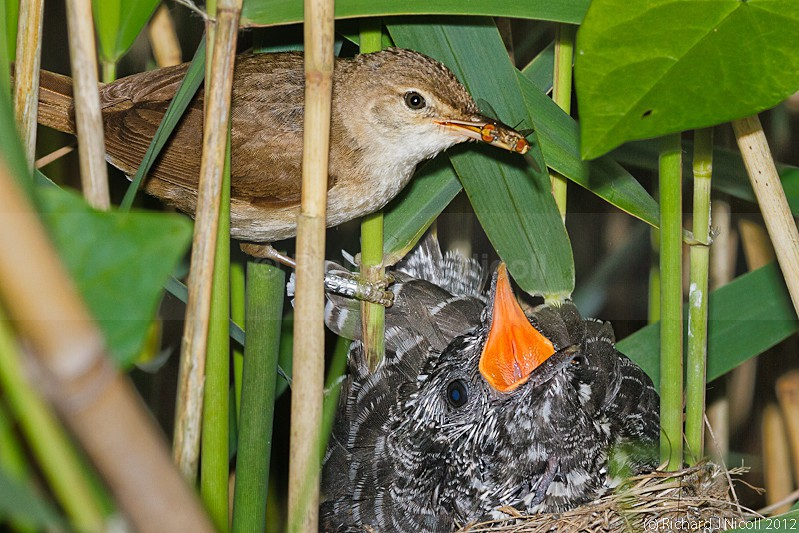 Reed Warbler (Acrocephalus scirpaceus) feeding Cuckoo chick (Cuculus c - ARPS Panel