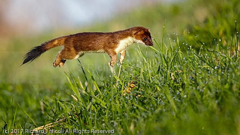 Stoat (Mustela erminea) hunting - Stoat (Mustela erminea)