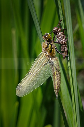 Four-Spotted Chaser with Exuvia - Four-spotted Chaser (Libellula quadrimaculata)