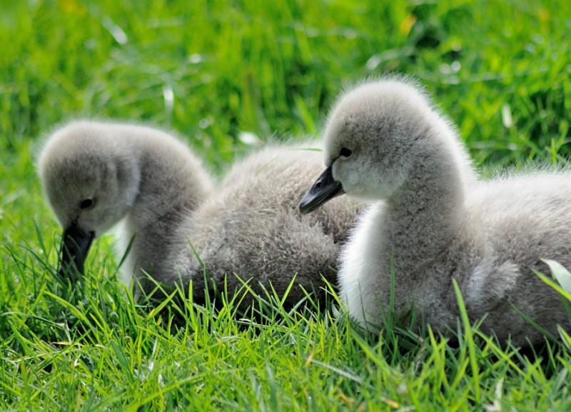 DW16 - Week old Black Swan Cygnets at Dawlish - Greetings Cards Dawlish