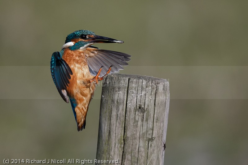 Kingfisher (Alcedo atthis) landing - Kingfisher