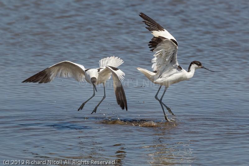 Avocets (Recurvirostra avosetta) fighting - Avocet (Recurvirostra avosetta)
