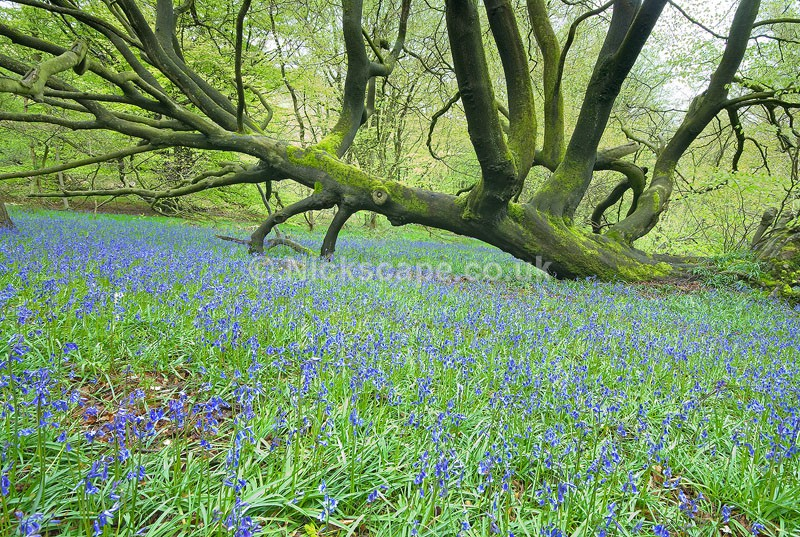 Peak District Bluebells | Gallery | Peak Landscape Photography